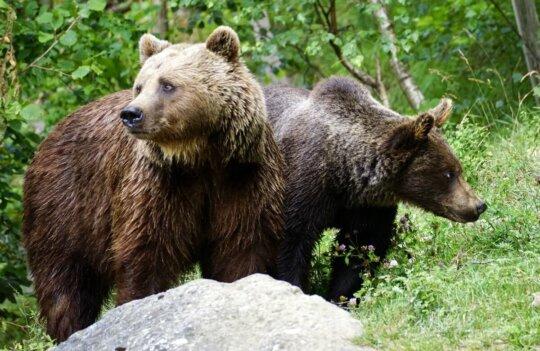 La ruta del oso: para ver osos de verdad y a una hora de Avilés